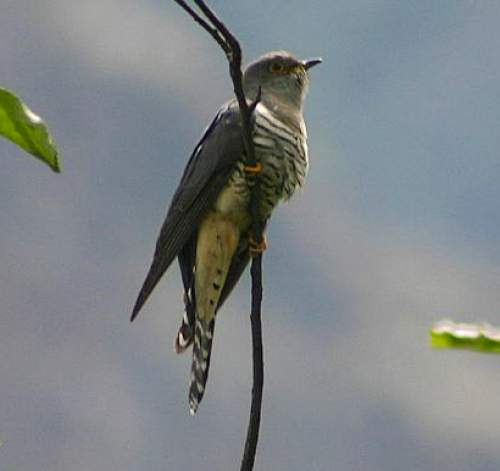 Indian birds - Picture of Lesser cuckoo - Cuculus poliocephalus