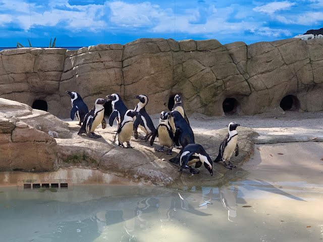 Some penguins standing next to a pool of water having been fed