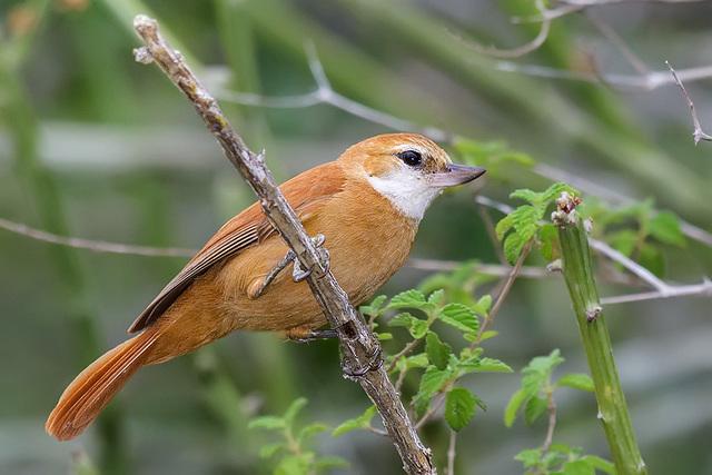 Pássaro Bico-Virado-da-Caatinga (Megaxenops parnaguae)
