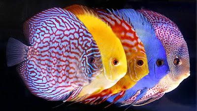 Jenis-jenis Ikan Discus - Cara budidaya ikan discus