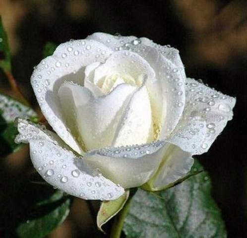 Pictures Of Beautiful White Flowers