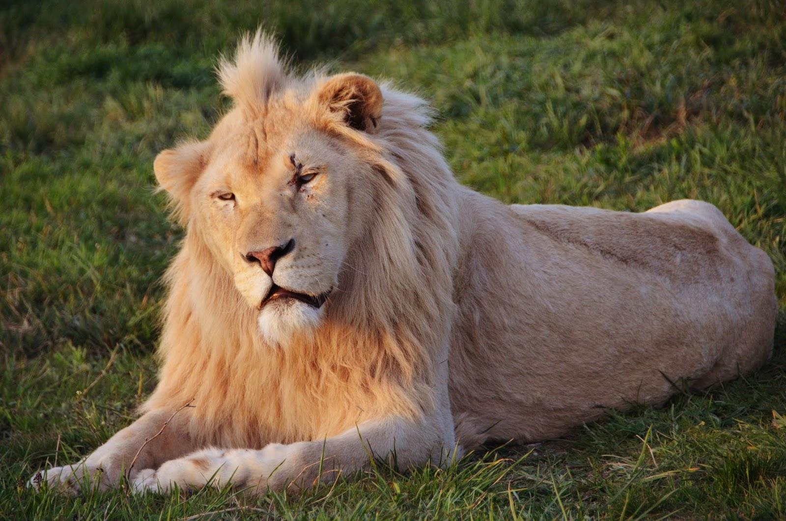 Молодые львы картинки