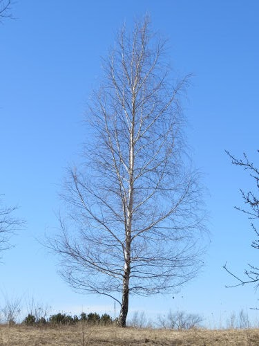 white birch tree winter shape