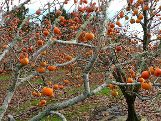 Persimmon Fruit Pictures
