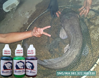 Essen Untuk Umpan Ikan Lele Babon