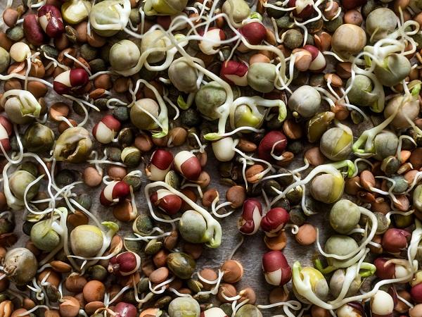 Kỹ thuật trồng các loại đậu xanh, đậu đỏ và đậu đen