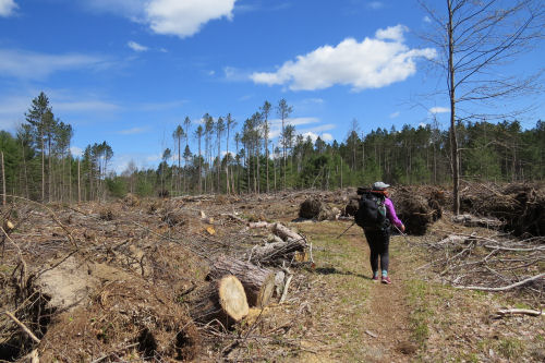 hiker in logged area