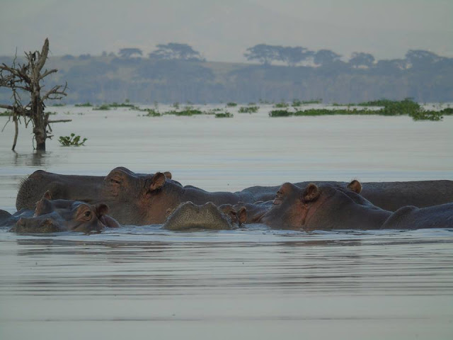 hippoptamus  lake navaisha lake safari kenya africa