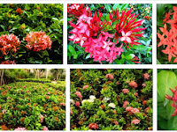 Cara Budidaya Tanaman Bunga Soka