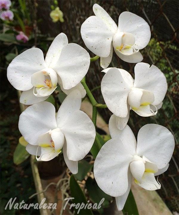 Variedad blanca de la orquídea Mariposa, género Phalaenopsis