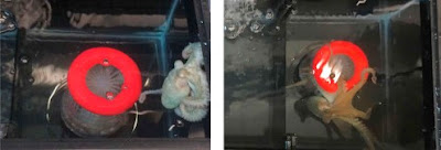 Photograph of Octopus social interaction under the saline condition on left and MDMA condition on right.