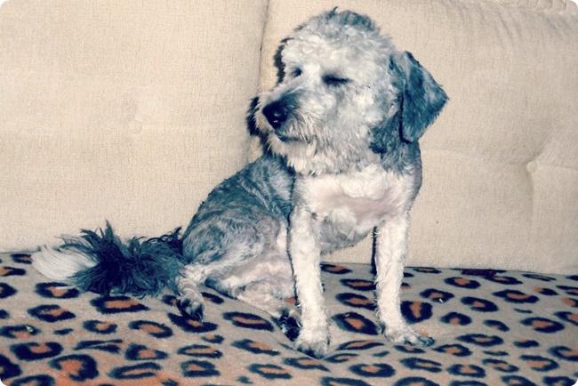 havanese groomed dog