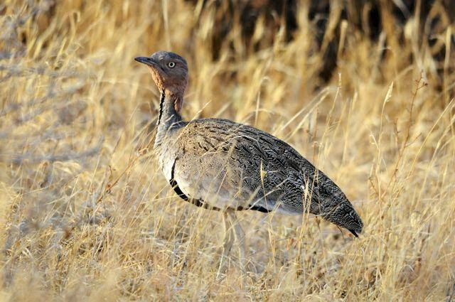 Red crested Bustard