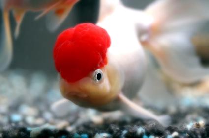 Makalah Ikan Mas Makalah Budidaya Ikan Gurame Slideshare Makalah Atau Skripsi Atau Hanya Untuk Sekedar Baca Baca Saja