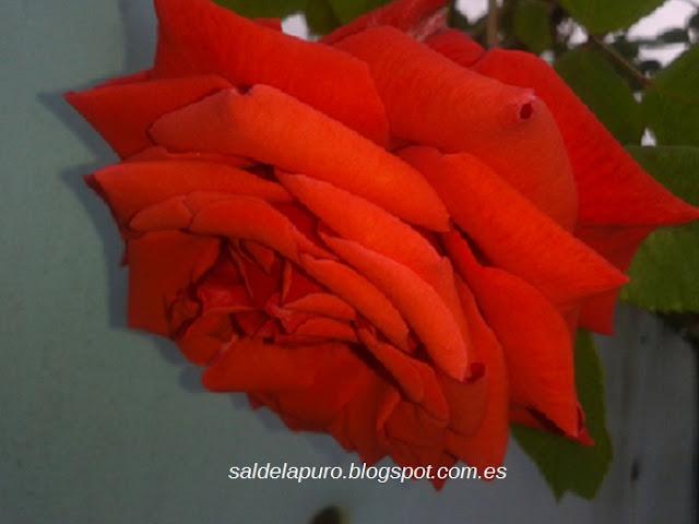 rosa-roja-silvestre-asturias