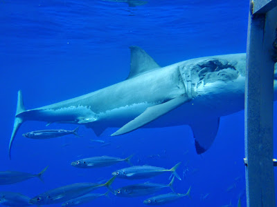 Great White Shark In Freshwater   Who Is More Aggressive A Bull Shark Or A Great White Sharkdiver