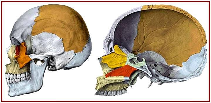 Características generales del cráneo