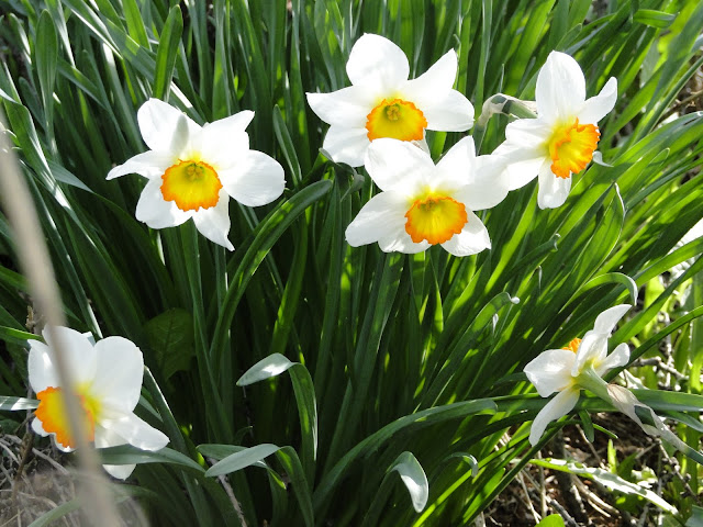 white daffodils flowering in field
