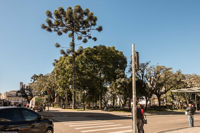 Os pinheiros na Tiradentes