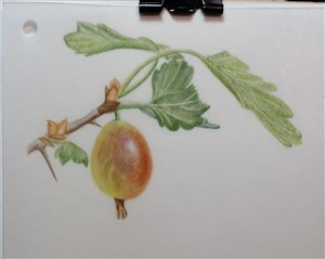 watercolour gooseberry, dry brush, paper, vellum