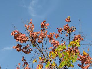פנסית דו נוצתית עלים ופריחה