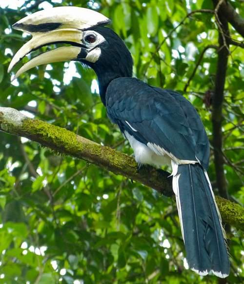 Asian pied hornbill