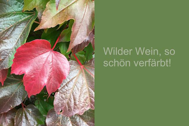 Wilder Wein verfärbte Blätter