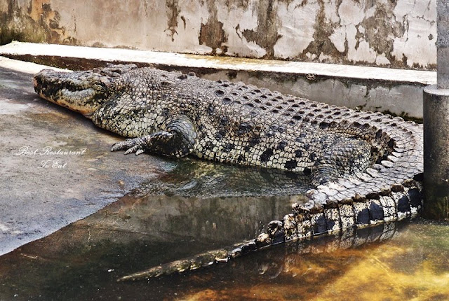 155 Years Old Crocodile