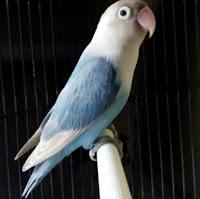 Burung Lovebird Pastel Biru