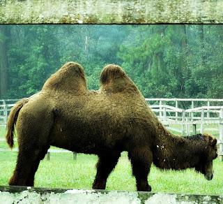 Camelo no Parque Zoológico de Sapucaia