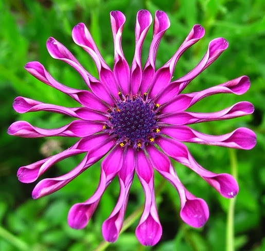 Purple Daisy Flower: Unseen Pictures 4 You