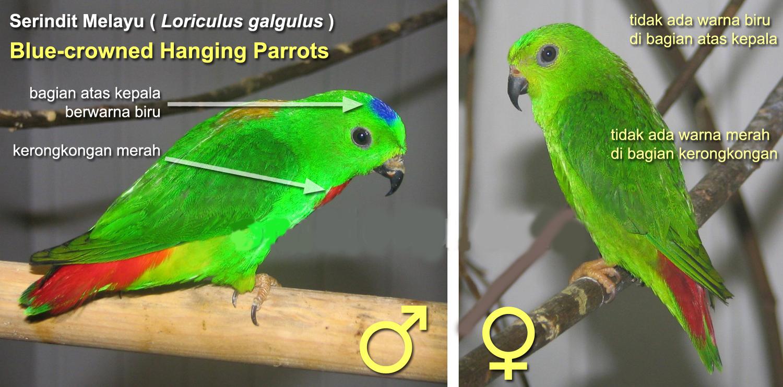 Download 1020+ Foto Gambar Burung Falk Jantan Dan Betina