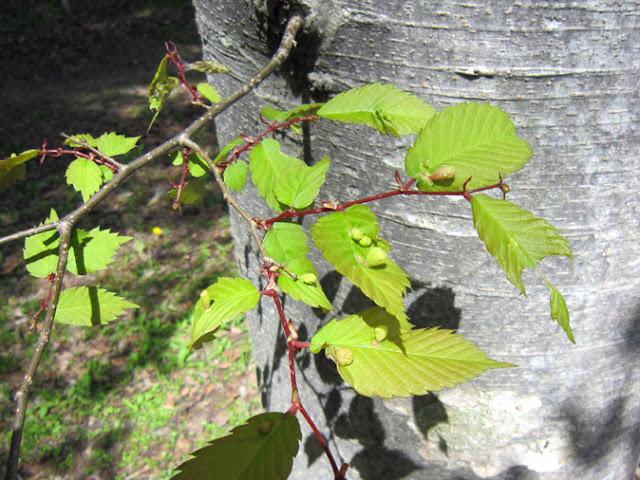 ケヤキの枝に、たくさんのコブの付いた葉