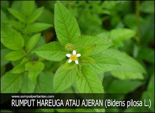 PESTISIDA NABATI dari bahan Rumput Hareuga atau Ajeran (Bidens pilosa L.)