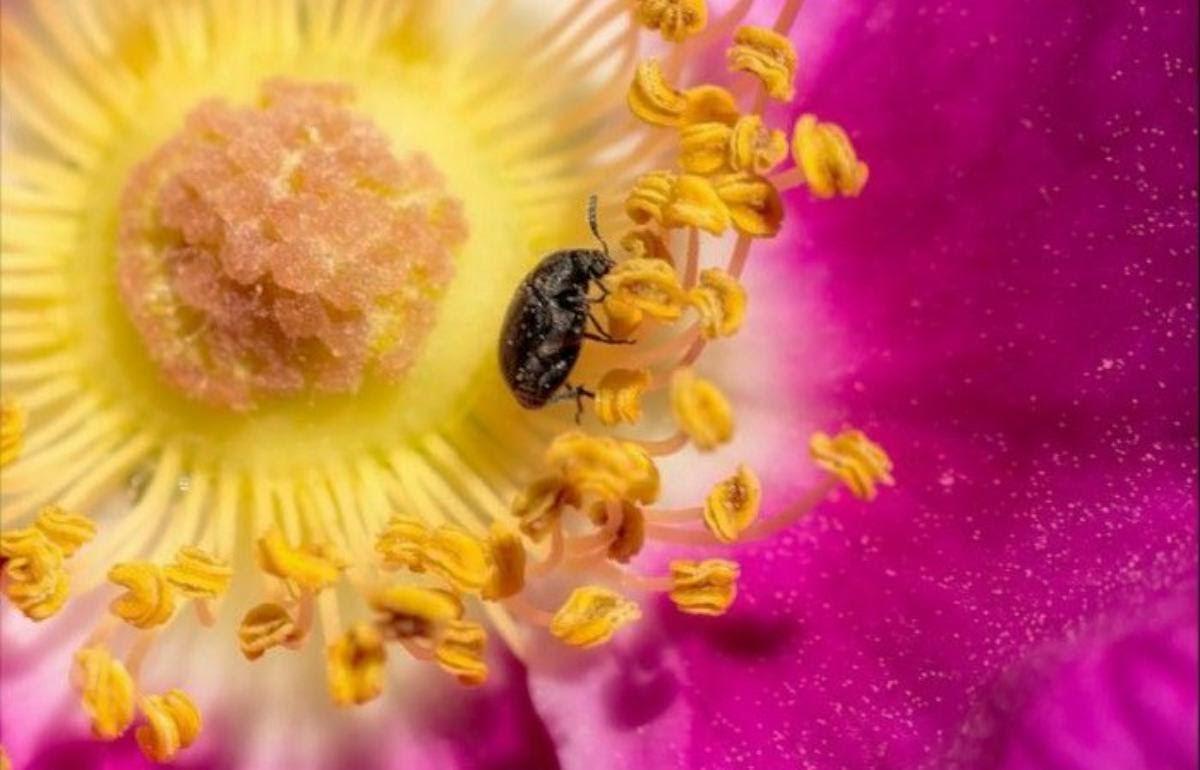 Selain Lebah Inilah Serangga Yang Membantu Proses Penyerbukan Dunia Serangga Yang Menakjubkan