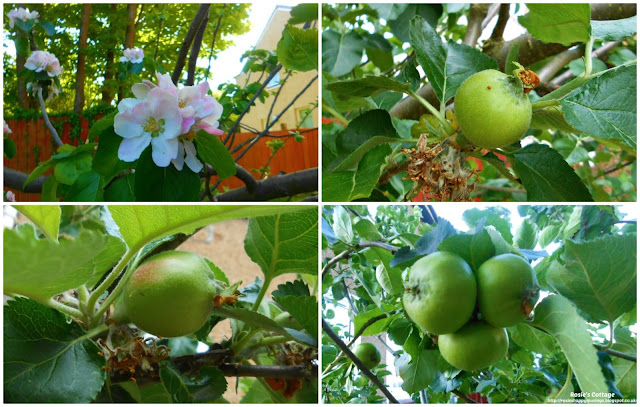 Beautiful apple blossom transforms day by day into perfect Bramley apples.