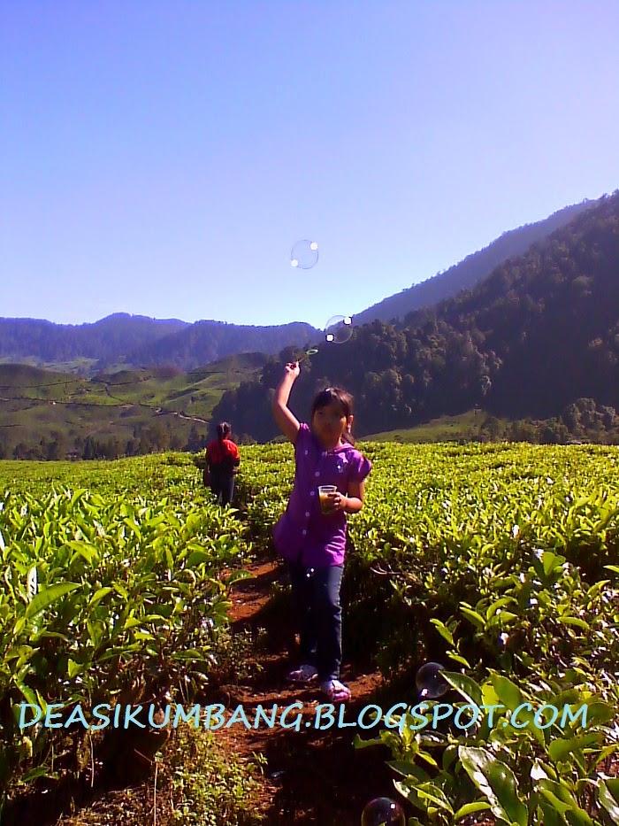 Wisata Kebun Teh Puncak Pass Bogor