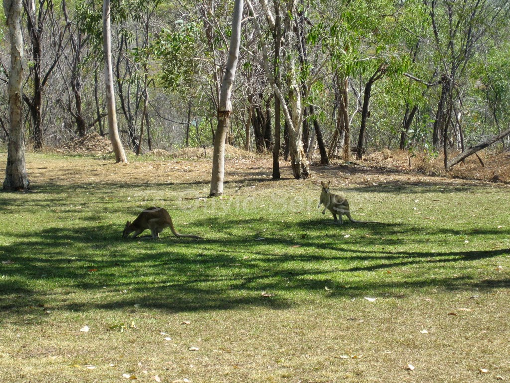 Wallabies, Katherine Gorge, Northern Territory, Australie