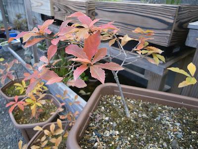 コナラ どんぐり 盆栽 鉢植え 紅葉 赤