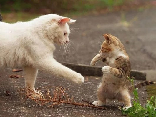 kucing lucu bermain dengan induknya