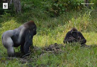Gorillas of Congo