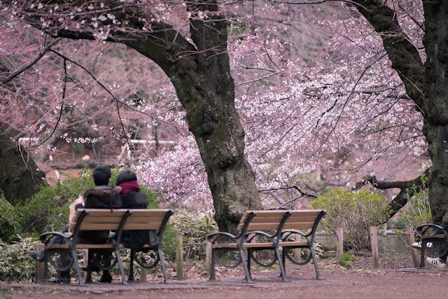 井の頭公園で撮影した桜とカップルを一緒に撮った写真