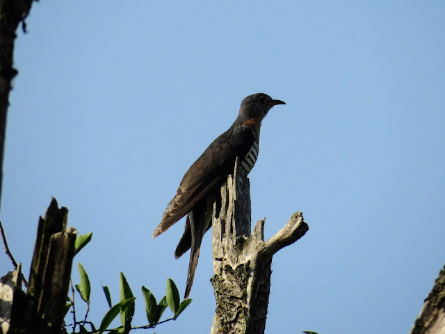 Common Cuckoo in Uganda