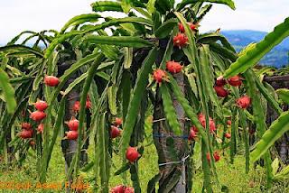 gambar pohon buah naga merah seperti kaktus