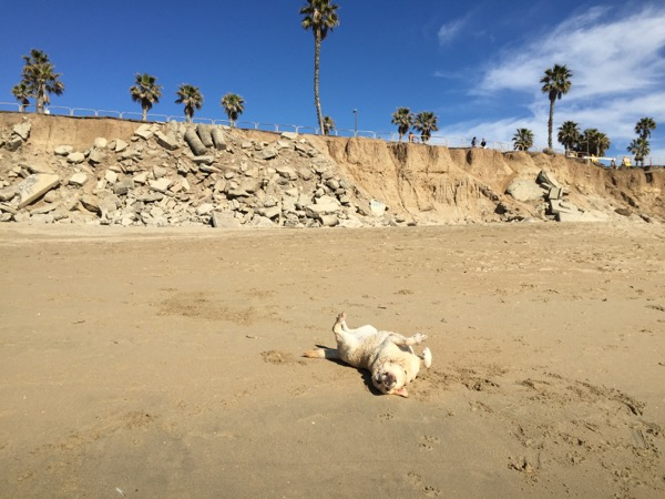 Labrador rolling in sand Huntington Beach