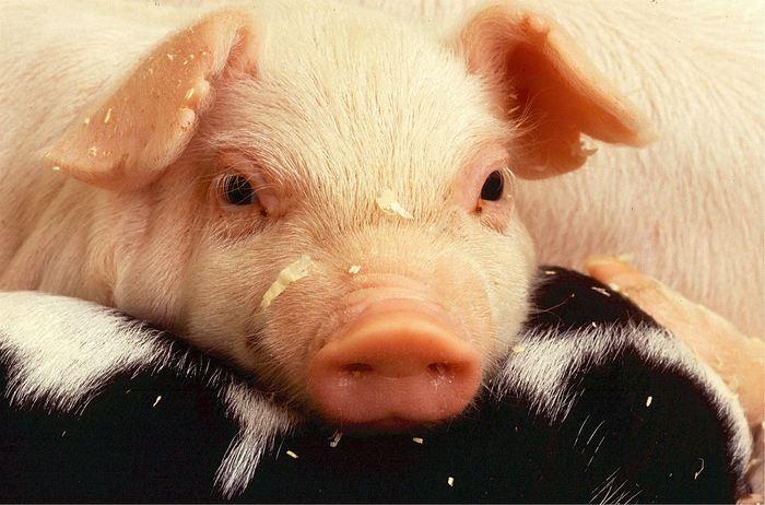 Quelles sont les interprétations et significations possibles du porc ou du cochon en Islam ?