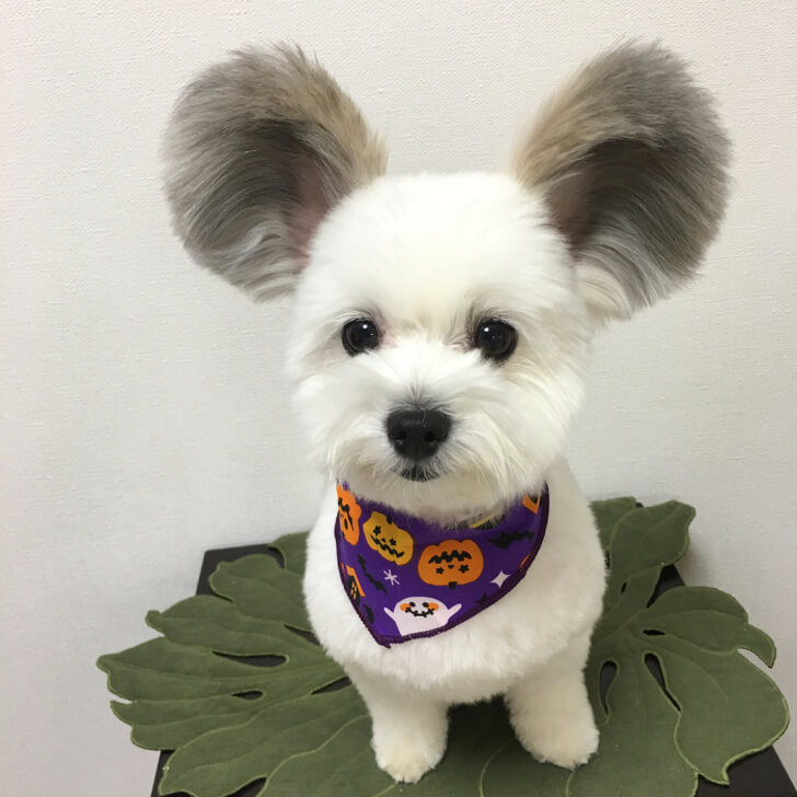 21 Cute Pictures Of Animals That Can Make Even The Worst Day A Bit Better - A puppy with Mickey Mouse ears