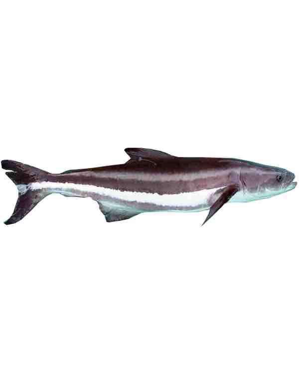 Cá bớp tự nhiên cắt lát ( bảo đảm không phải cái nuôi )
