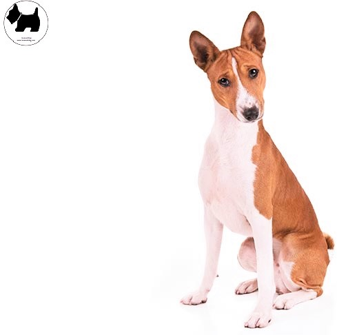 Cutest Dog Breeds, Best Dog, Basenji Dog