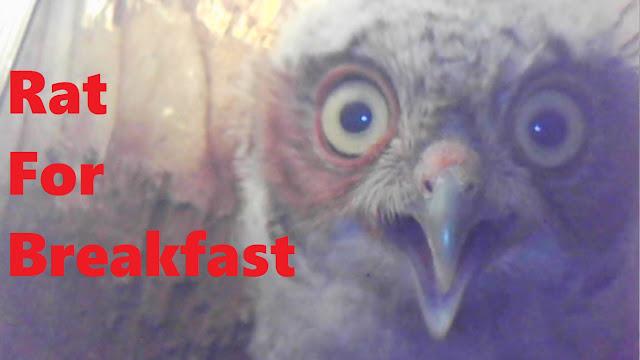 Baby Screech Owl Has Rat For Breakfast